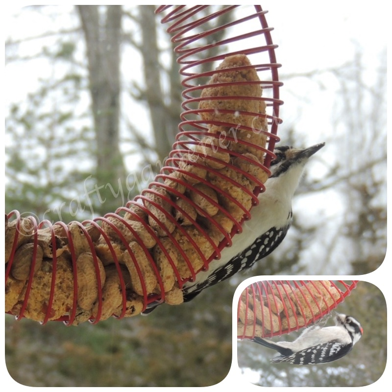 woodpeckers at the coil feeder at craftygardener.ca
