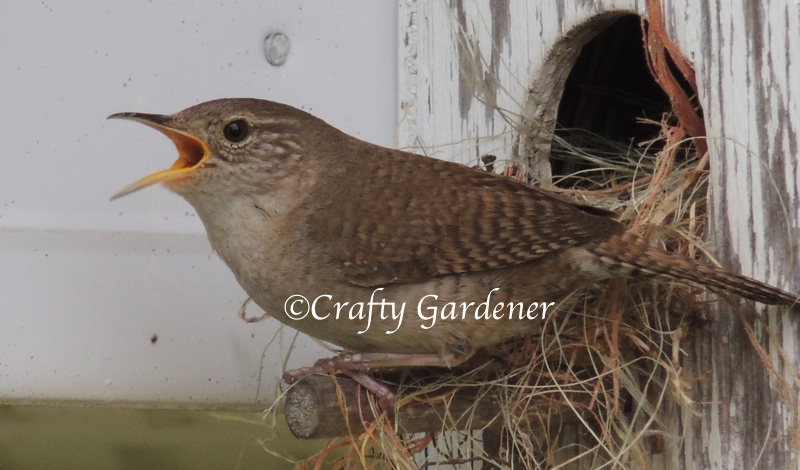 house wren at craftygardener.ca