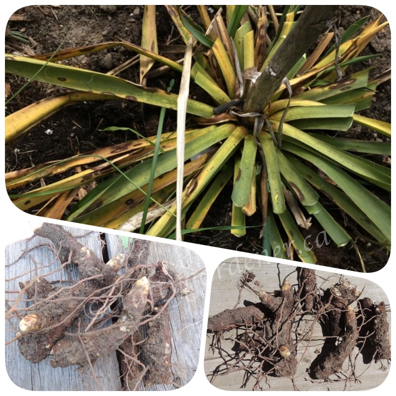 yucca root and transplant at craftygardener.ca
