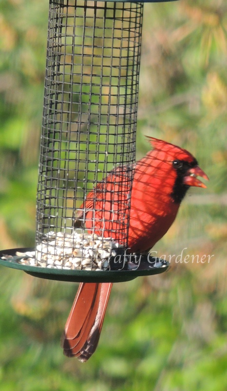 The cardinal loves the safflower seed.