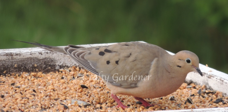 Doves can be found on the flat feeders and on the ground. They eat up all the bits the other birds leave behind.