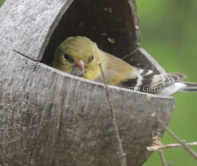 This little goldfinch settled down inside the coconut feeder and just enjoyed itself.