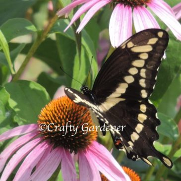 Flitting and Feeding on the Echinacea
