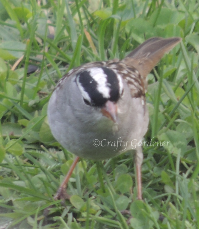 This little black crowned sparrow was hopping all over the grass several days agobut I haven't seen him around lately.