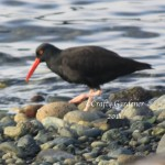 oyster catcher4