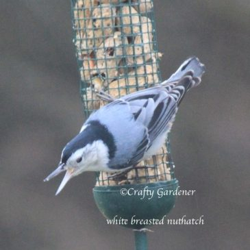 The Nuthatches