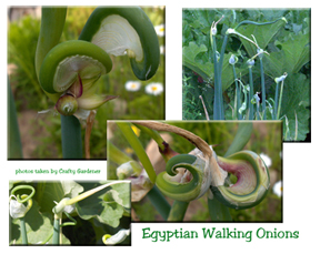 Egyptian walking onions at craftygardener.ca