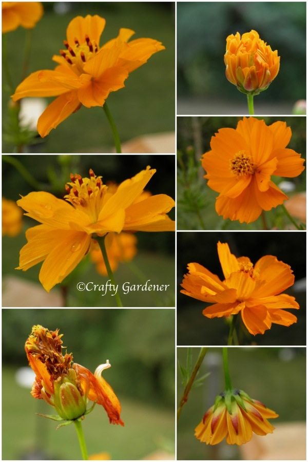 growing orange cosmos at craftygardener.ca