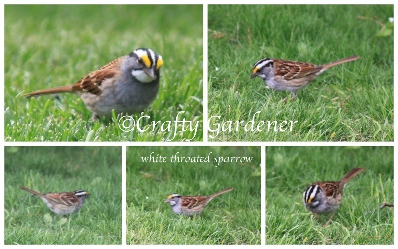 whitethroated2012ff