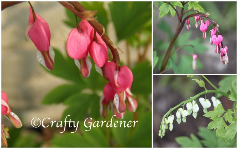 bleeding hearts at craftygardener.ca