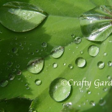Raindrops on the Lady's Mantle