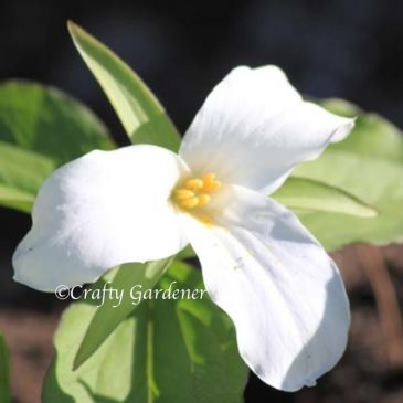 Trillium – White and Red