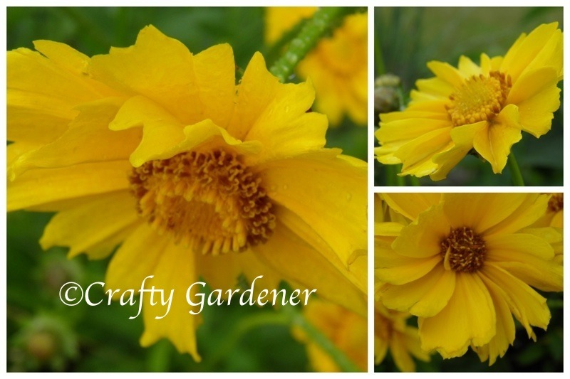coreopsis2012a