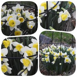 April daffodils at craftygardener.ca