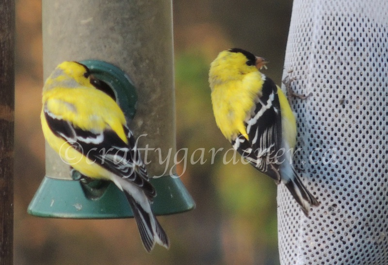 2sDay goldfinches at craftygardener.ca