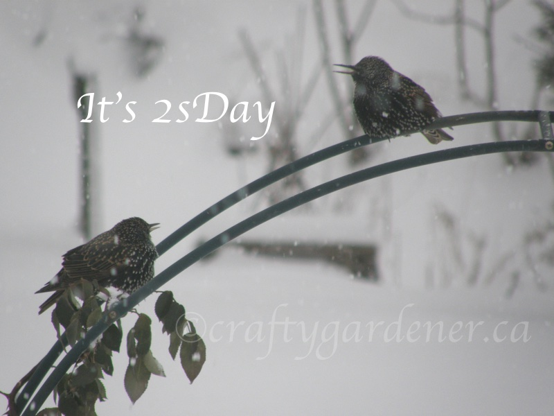 2 starlings for 2sDay at craftygardener.ca