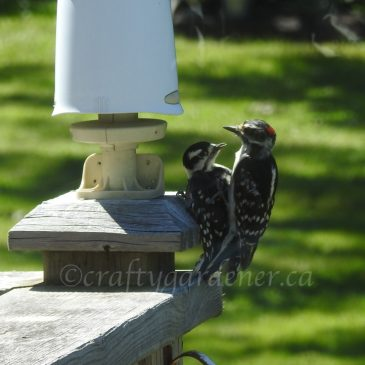 2sDay:  Woodpeckers
