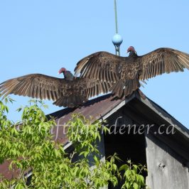 the turkey vultures by craftygardener.ca