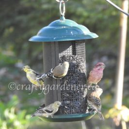 finches at the feeder at craftygardener.ca