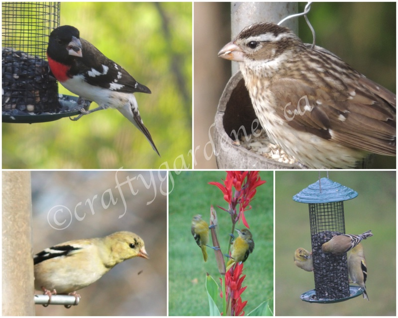grosbeaks and goldfinches at craftygardener.ca