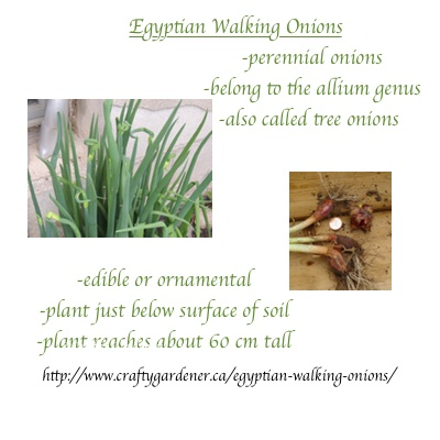 printable seed label for Egyptian Walking Onions at craftygardener.ca