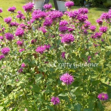 B for Bee Balm