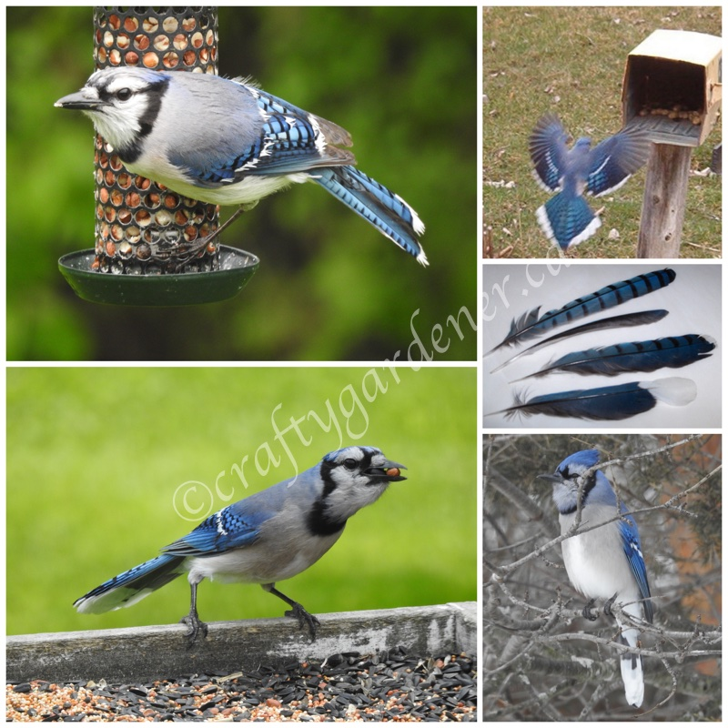 bluejays at craftygardener.ca