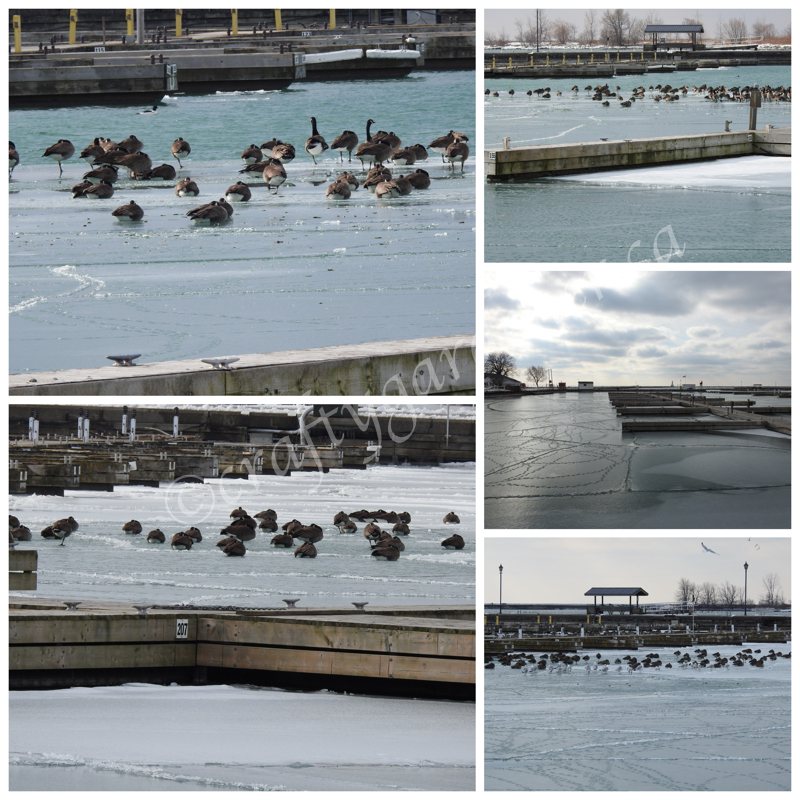 Canada Geese at the Cobourg waterfront by craftygardener.ca