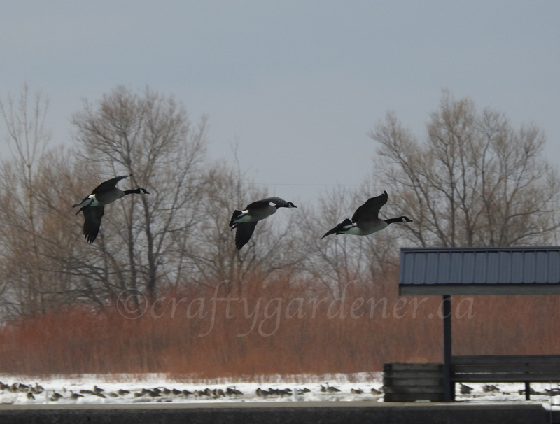 Canada Geese caught in flight at the Cobourg waterfront by craftygardener.ca