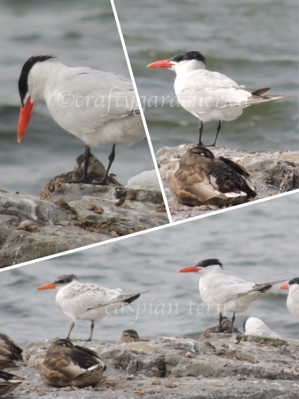 caspian terns on the Bay of Quinte, Ontario