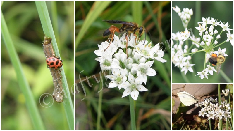 critters on the garlic chive blooms at craftygardener.ca
