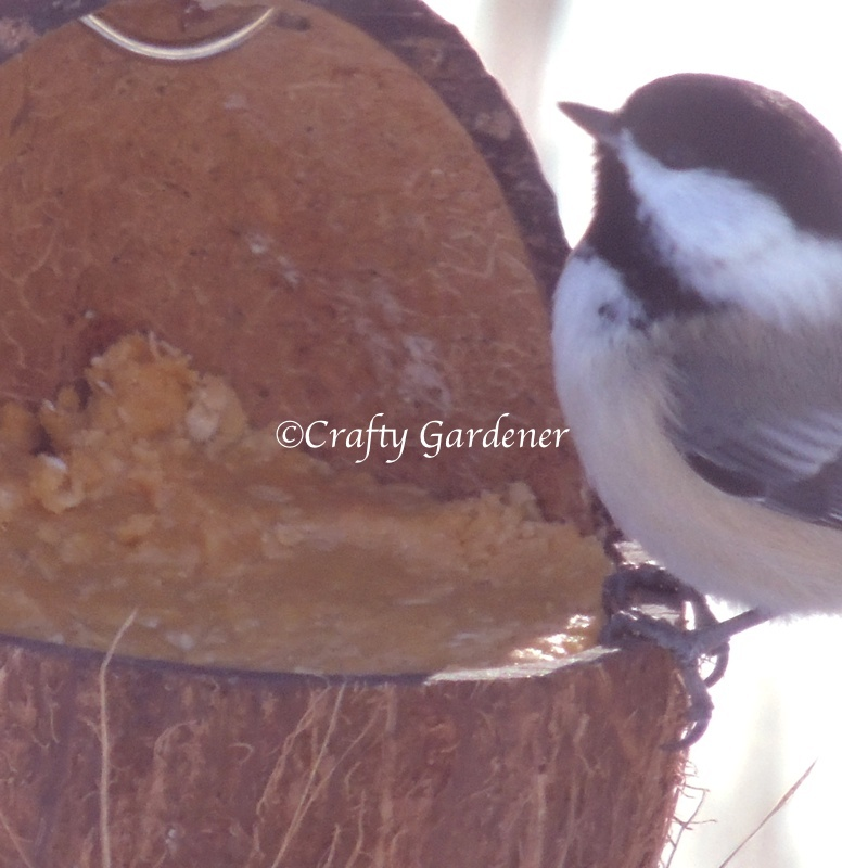 a coconut feeder filled with all season suet at craftygardener.ca