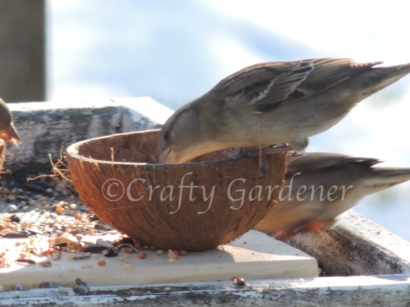 enjoying suet in the coconut feeder at craftygardener.ca