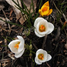 crocus in the garden March 2020 at craftygardener.ca