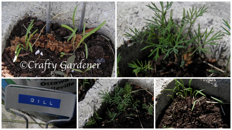 second planting of dill seed at craftygardener.ca