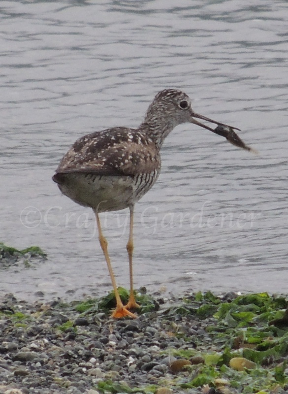 short billed dowitcher spotted at Wiffen Spit, Sooke, British Columbia