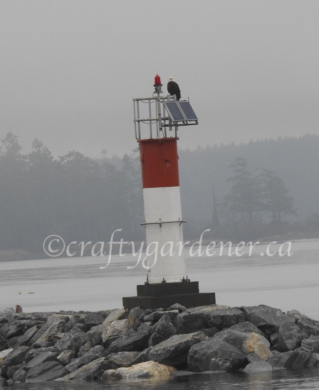 an eagle at the Sidney, BC lighthouse taken by craftygardener.ca