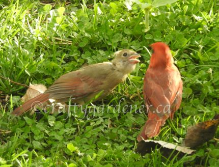 cardinals at craftygardener.ca