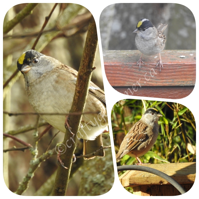 the golden crowned sparrow from a visit to British Columbia