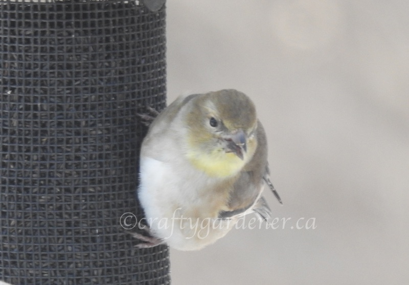 goldfinch at the nyger feeder at craftygardener.ca
