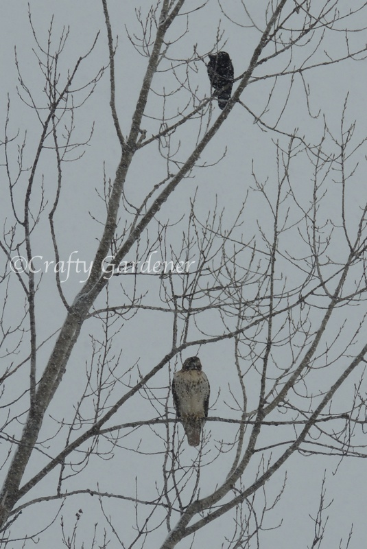 hawk and friend1a