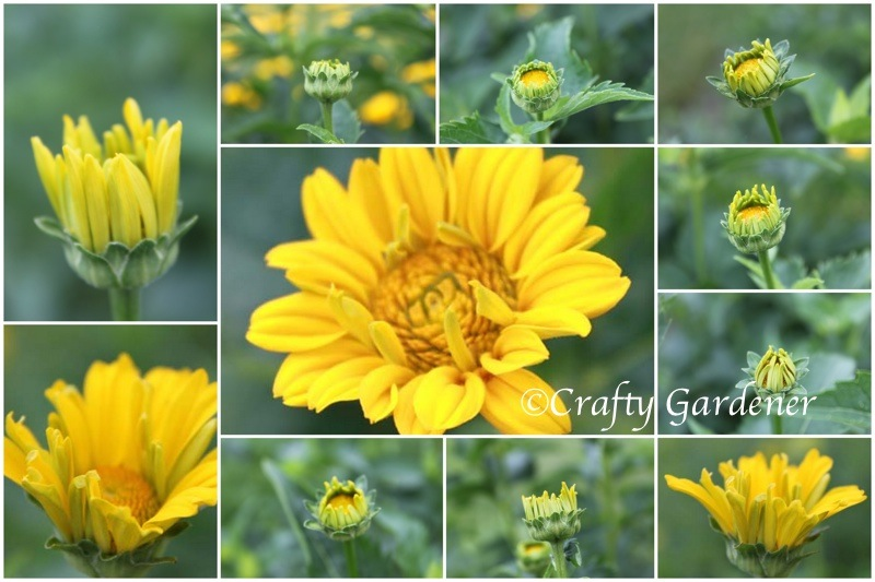 heliopsis buds1