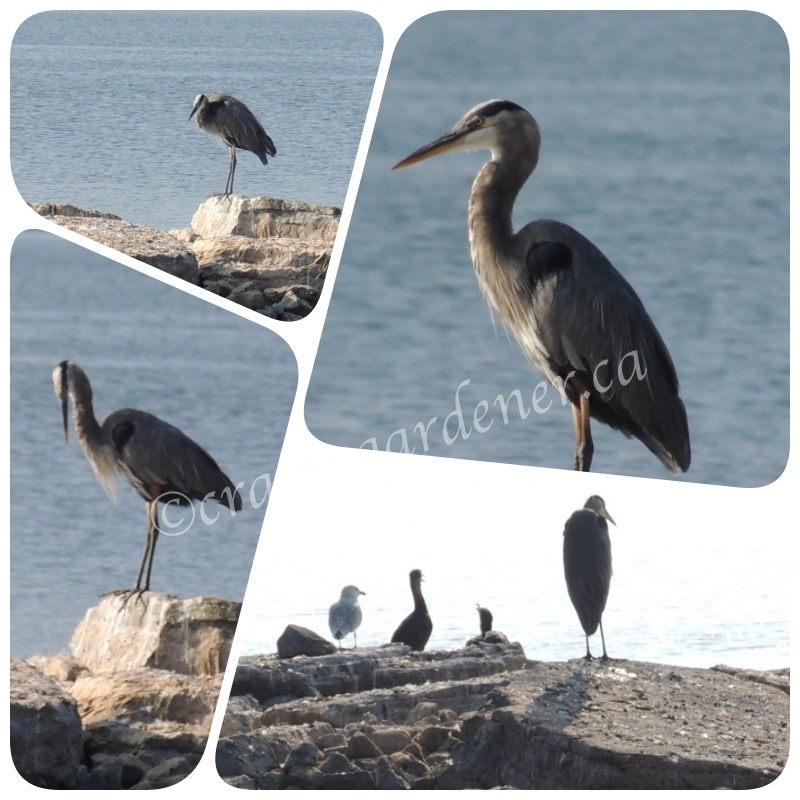 the heron down by the bay taken by craftygardener.ca