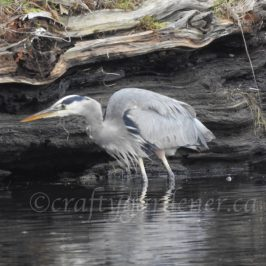 a great blue heron at the Albert Head Lagoon in BC, photo by craftygardneer.ca