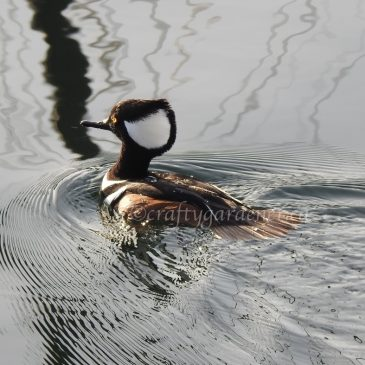 Common and Hooded Mergansers