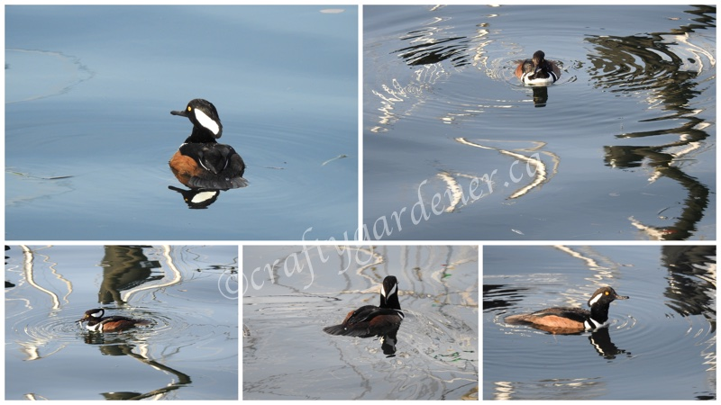 the hooded merganser taken by craftygardener.ca