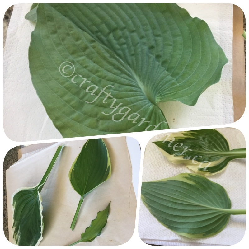 hosta leaves before going into the flower press at craftygardener.ca