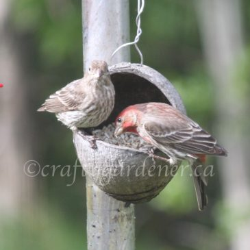 The House Finches