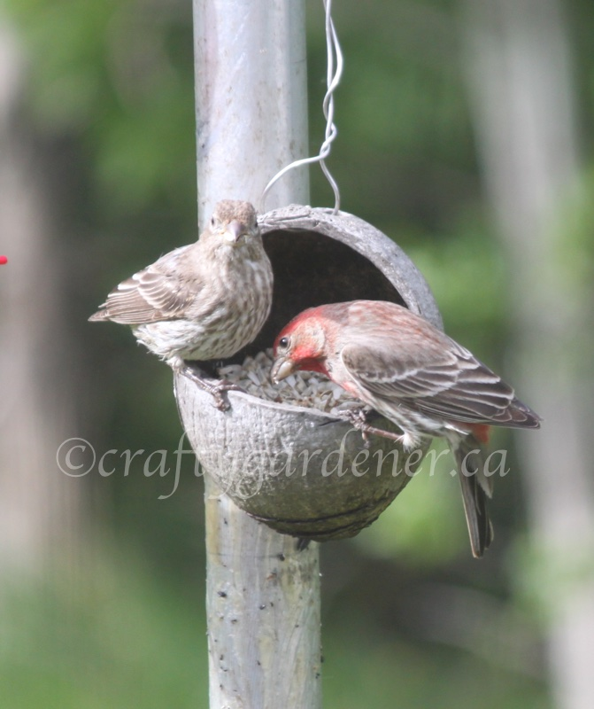 male and female house finch at craftygardener.ca