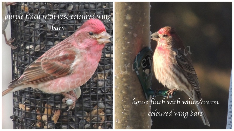 how to distinguish house finches and purple finches at craftygardener.ca
